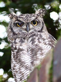 SpottedEagleOwl2539MGEyeLid - Owl - Wikipedia, the free encyclopedia