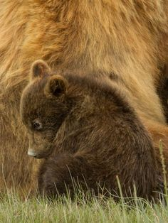 Baby brown bear cub #Wildlife #Bear #Cub #BabyBear #Picture http://kozzi.tv/rLOr300jprZ
