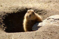 marmota.jpg (800×531)