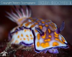 Colorful nudibranch in Anilao - Philippines  #scubashooters #underwaterphotography #uwphotography #uwphoto #subacquea #sousmarine #subaqua #scuba #diving #immersione #buceo #plongee #tauchen #fotografiasubmarina #sea #ocean #nudibranch #anilao #philippines #nature #marinelife #sealife #awesome #colorful #nikon #picoftheday by scubashooters