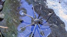 Dolomedes briangreenei - New Species Of Fish-Eating Spider Discovered in Australia. In case you thought nature was all about cute, fuzzy animals and sweet-smelling flowers, here's a swimming spider that eats fish and frogs. Australian Spider, Australian Animals, Spider Species, Breathing Underwater, Walk On Water, Surfs, Toad, Swimming, Fish