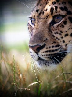 Big Cat Photo 05 in Adventurous Examples of Wildlife Photography (12 Big Cats Pics)
