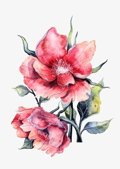 Watercolor peony in full bloom, Peony, Red, Watercolor PNG Image