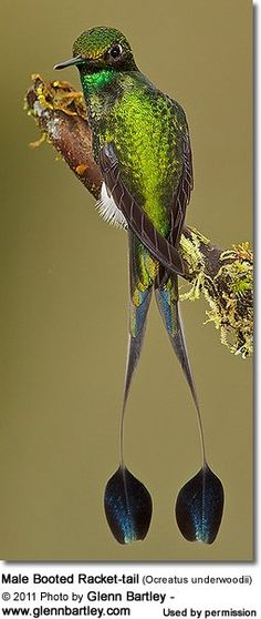 Photographer and Avianweb Contributor  http://www.glennbartley.com/   Glen Bartley's images are published on these pages:  Other Birds  Hummingbirds  Hummingbird Information ...