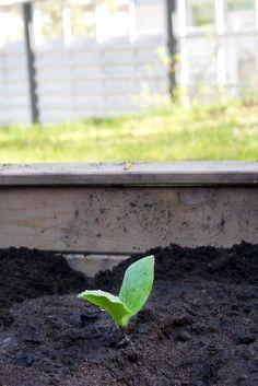 Hämmentäjä: Kasvimaassa tapahtuu. Plenty of going on in the garden. Kesäkurpitsa, zucchini.