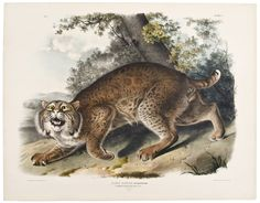 Common American Wild Cat. Male. Pl. 1 by John James AUDUBON on Donald A. Heald