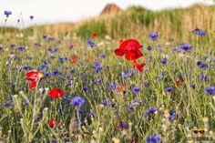Veldbloemen op Texel. #Justinsinner #bloemen #natuur #nature #fotografie #photgraphy #holland #nederland #waddeneiland