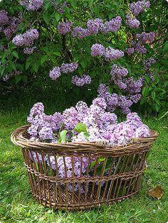 ✿ Lilacs