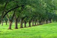 Pecan Trees by TMurph51, via Flickr