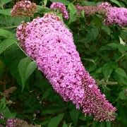 Butterfly friendly plant. Click image to learn more and to add to your own plants list. Botanical name: Buddleia davidii 'Summer Beauty'    Other names: 'Summer Beauty' butterfly bush, Buddleia 'Summer Beauty', Buddlea 'Summer Beauty'    Genus: Buddleja    Variety or cultivar: 'Summer Beauty' _ 'Summer Beauty' is a medium-sized deciduous shrub with arching branches, lance-shaped, silver-green leaves and slender panicles of rose-pink flowers in summer.