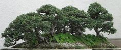 Sage Ross's Chinese Elm, a photograph of a bonsai on display at the United States National Arboretum, taken on August 7, 2007