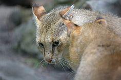 Moeraskat of Rietkat (Felis chaus) Kraków Zoo, Poland Conservation status: Least concern Caracal, Serval, Leopard Cat, Cheetah, Chausie Cat, Black Footed Cat, Wild Cat Species, Sand Cat, Spotted Cat