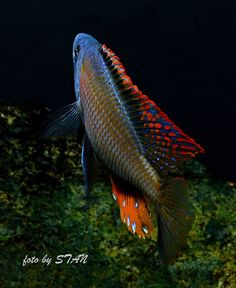 'Dimidiochromis compressiceps - his back ;-)'