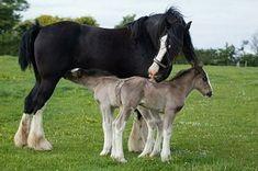 A Shire mare, Penlan Ceri Rose, recently birthed twin foals in Llandysul, Ceredigion Wales.