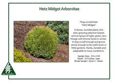 Thuja-occidentalis-HetzMidget