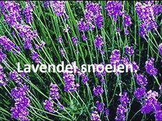 Hoe kun je een lavendel snoeien? - Tuinieren.nl - YouTube
