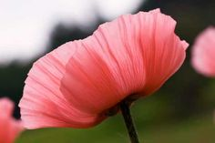 Thinking about getting a light pink poppy tattoo... thoughts?