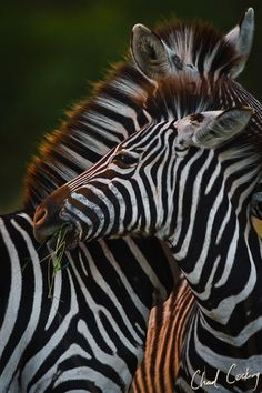 Zebra - A couple of zebras rub up against one another in the last light of the day at Motswari Private Game Reserve, Timbavati, South Africa