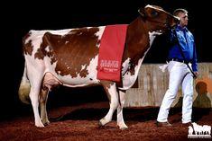Gado Leiteiro, Show Cattle, Cows, Dairy, Horses, Animals, Small Gardens, Hens, Animales
