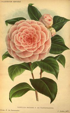 Camellia Madame P. De Pannemaeker, v.32 (1885) - L'Illustration horticole : - Biodiversity Heritage Library