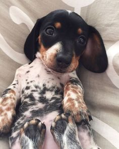 Animals And Pets, Baby Animals, Funny Animals, Cute Animals, Cute Puppies, Cute Dogs, Dogs And Puppies, Weenie Dogs, Doggies