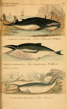 Minke whale, humpback whale, and narwhal (1845-1846). via Scientific illustration on tumblr Source:  BioDivLibrary on Flickr.