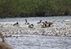 A gaggle of Canada Geese