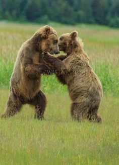 Coastal Brown Bears play fighting,  Lake Clark National Park, Alaska
