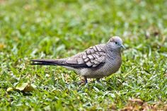 Barred ground dove (Photo: by Peter Chadwick) http://cousinisland.net/discover