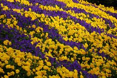 Purple and yellow pansies in Busch Gardens flowerbed, Tampa, Florida