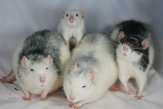 Cute Rats with baby