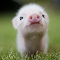 Cute animal wallpapers for starting out with 30 really adorable and cute baby animals. all hd quality pictures. if you love cute baby animals, Cute Baby Pigs, Baby Animals Super Cute, Cute Piglets, Cute Little Animals, Cute Funny Animals, Baby Piglets, Cutest Animals, Baby Teacup Pigs, Baby Farm Animals