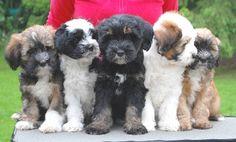 Ti La Shu Tibet Terrier, Tibet Terrier Welpen, Ausstellungen