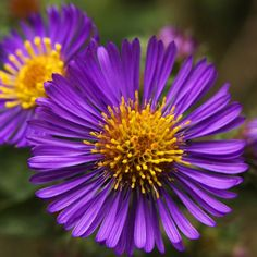 Purple Flower Names - Enlisted With a Beautiful Photo Gallery New England Aster /Symphyotrichum nova Purple Flower Names, Purple Flowers, Wild Flowers, September Birth Flower, Bee Friendly Plants, Birth Flowers, Summer Garden, Native Plants, New England