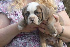 Pitbull Mix Puppies, Olde English Bulldogge, Kitten For Sale, Puppies For Sale, Dog Photos, Pitbulls, Kittens, Dogs, Animals
