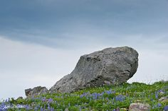 Whenever glaciers are nearby, you are sure to find large boulders known as glacial erratics. These boulders are deposited by the constant downhill movement of the glacier and left exposed as the glacier recedes. This glacial erratic was found in the alpine meadows near Paradise in Mount Rainier National Park, Washington State, USA.