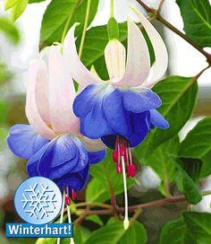 Winterharte Fuchsie 'Blue Sarah'