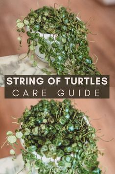 String of Turtles Care Guide (Peperomia Prostrata)/ watering tips/ propagation hacks Carnosa Care Guide: Propagation & Watering Advice: wax plant porcelain plant: hoya care Hoya Plants, Jade Plants, Hanging Plants, Indoor Plants, Planting Succulents, Planting Flowers, Peperomia Plant, Plant Propagation, House Plant Care