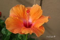 hibicus fave flower! so pretttyyy