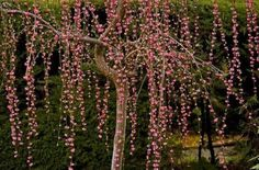 Japanese weeping plum tree