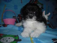 Stephanie is an adoptable Pomeranian/Bichon in Mansfield, OH.