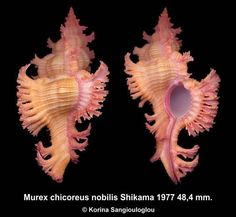 Murex Chicoreus nobilis Shikama 1977  - K.Sangiouloglou