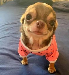 Effective Potty Training Chihuahua Consistency Is Key Ideas. Brilliant Potty Training Chihuahua Consistency Is Key Ideas. Cute Dogs And Puppies, Baby Dogs, Doggies, Pet Dogs, Funny Puppies, Funny Pugs, Dog Cat, Cute Little Animals, Cute Funny Animals