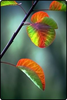 aspen leaves turning