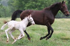 A white Standardbred long shot was born in May 2012 in NJ!  He has white eyelashes, gold hooves, a pink muzzle and ears and a dusting of red between his ears and along his mane. He is not an albino, but a genetic mutation. Both parents are bay.