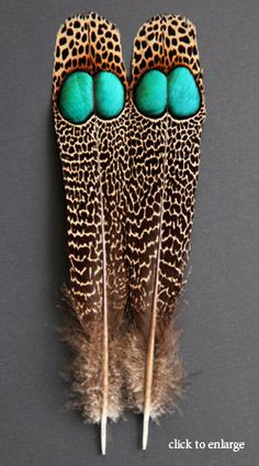 Malayan Peacock-pheasant feathers  used for fly tying, wow