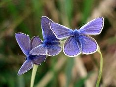 British Butterflies - the Common blue