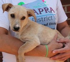 Meet Pippa 22457, a Petfinder adoptable Chihuahua Dog | Prattville, AL | Pippa is a 3-month-old female Chihuahua mix. She is light tan and has a very distinctive white mark...