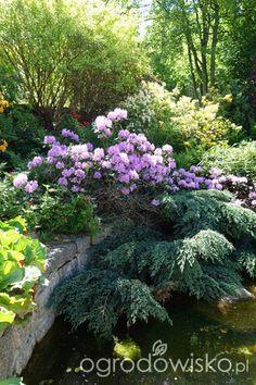 Ogród pod trzema dębami - strona 130 - Forum ogrodnicze - Ogrodowisko