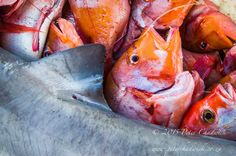 Smoothhound Shark amongst other catch on a South African fishmarket ©PeterChadwick Winner Announcement, Fall 2015, Shark, Photo Galleries, Told You So, African, Judges, Fish, Gallery
